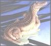 Alligator,12x10cm