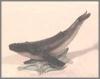 Warzen Wal,18x9cm