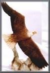 Adler,fliegend,12,5x19,4cm