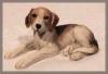 Beagle lie.4,5x10,5cm