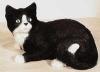 Katze, lieg.N.22x16cm