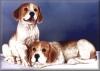 Beagle Paar,20x31cm